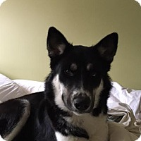 Husky Mix Dog for adoption in Seattle, Washington - Everest