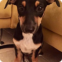 Jack Russell Terrier Mix Dog for adoption in West Palm Beach, Florida - Roscoe