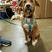 Labrador Retriever/American Staffordshire Terrier Mix Dog for adoption in McDonough, Georgia - Logan