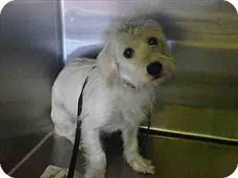 Terrier (Unknown Type, Small) Mix Dog for adoption in Encino, California - Zuly