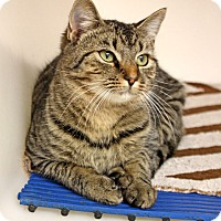 Adopt A Pet :: Miss Meowzer - Harrisonburg, VA