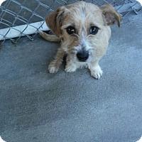 Adopt A Pet :: Grace - New Haven, CT
