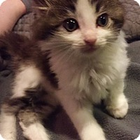 Adopt A Pet :: Pebbles - St. Louis, MO