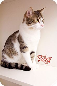 Domestic Shorthair Cat for adoption in Livonia, Michigan - Tog