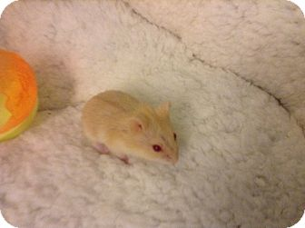 Hamster for adoption in St. Paul, Minnesota - Abba-Zaba