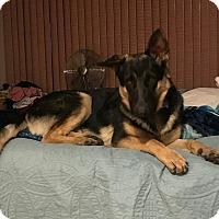 Adopt A Pet :: Hoku - Las Vegas, NV