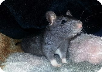 Rat for adoption in Lakewood, Washington - Black Male