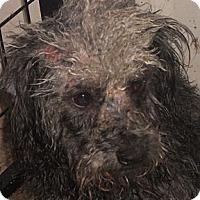 Adopt A Pet :: Poodle X - Aloha, OR