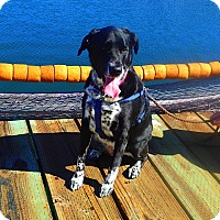 Adopt A Pet :: Calli - Gig Harbor, WA