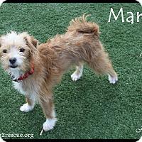 Adopt A Pet :: Marley - Rockwall, TX