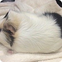 Adopt A Pet :: Cheesecake - Blackstock, ON