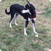 Adopt A Pet :: Apache(fostered in NC) - Cranston, RI