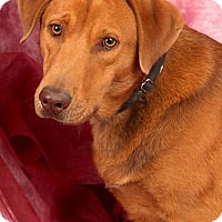 Adopt A Pet :: Copper Labmix - St. Louis, MO