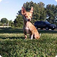 Adopt A Pet :: Anna - Foristell, MO