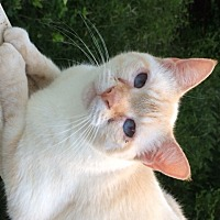 Siamese Cat for adoption in Mobile, Alabama - Angel