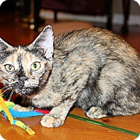 Domestic Shorthair Kitten for adoption in Morganton, North Carolina - Reese