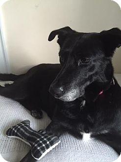 Labrador Retriever Mix Dog for adoption in Mississauga, Ontario - Pauline
