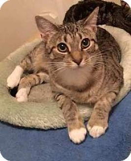 Domestic Shorthair Cat for adoption in Virginia Beach, Virginia - 1510-0398 Jackie Off Site Foster