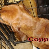 Adopt A Pet :: Copper - Coleman, TX