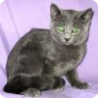 Domestic Shorthair Cat for adoption in Powell, Ohio - Stormy