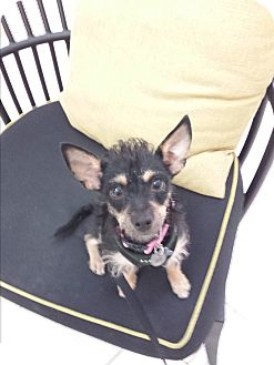 Terrier (Unknown Type, Medium)/Miniature Pinscher Mix Dog for adoption in Encino, California - Shana