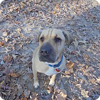 Shar Pei/Labrador Retriever Mix Dog for adoption in Blairsville, Georgia - Sophie