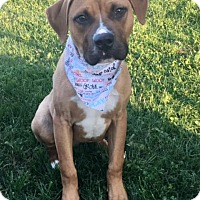 Adopt A Pet :: TYSON - Lexington, NC