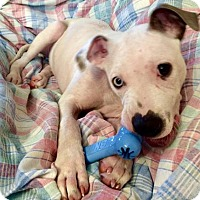Terrier (Unknown Type, Medium)/American Bulldog Mix Puppy for adoption in Northeast, Ohio - Duncan