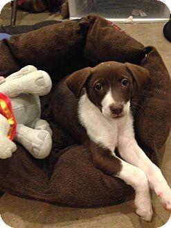 Border Collie/Labrador Retriever Mix Puppy for adoption in Long Island, New York - Rarity