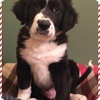 Adopt A Pet :: Boddingtons - Newport, KY