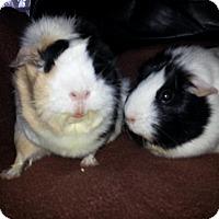 Adopt A Pet :: Macie and Molly - Harleysville, PA