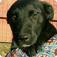 Adopt A Pet :: Sheba - Allentown, PA