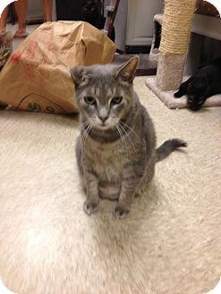 Domestic Shorthair Cat for adoption in Fort Lauderdale, Florida - Mako