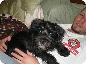 Scottie, Scottish Terrier/Schnauzer (Miniature) Mix Puppy for adoption in Apex, North Carolina - Dupree