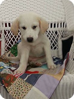 Beagle/Labrador Retriever Mix Puppy for adoption in Linton, Indiana - Lilly