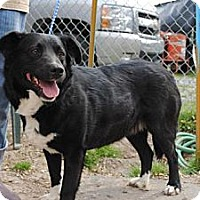 Border Collie/Labrador Retriever Mix Dog for adoption in Tunica, Mississippi - Sabrina