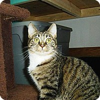 Domestic Shorthair Cat for adoption in Cleveland, Ohio - Summer