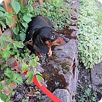 Adopt A Pet :: HERCULES (2) - Portland, OR