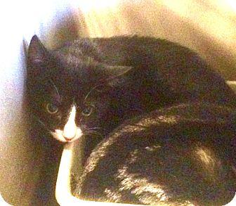 Domestic Shorthair Kitten for adoption in Turnersville, New Jersey - Elsa H
