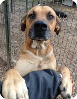 Great Dane Mix Dog for adoption in Quinlan, Texas - Marmaduke