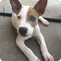 Adopt A Pet :: Drogo - Mount Juliet, TN