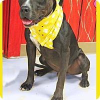 Adopt A Pet :: Tank - Hillsboro, TX