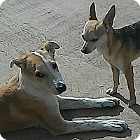 Adopt A Pet :: Odie - San Ysidro, CA
