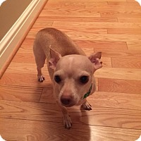 Chihuahua Mix Dog for adoption in Willingboro, New Jersey - Peter
