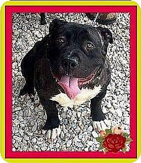 American Pit Bull Terrier Dog for adoption in Murrieta, California - Petunia