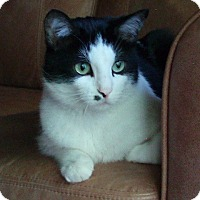 Adopt A Pet :: Smartie *declawed* - Toronto, ON