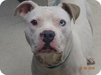 American Pit Bull Terrier Mix Dog for adoption in Gulfport, Mississippi - Zeus (Lonely Heart)