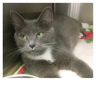 Domestic Shorthair Cat for adoption in Webster, Massachusetts - Ruby