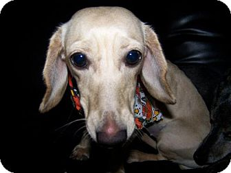 Dachshund Dog for adoption in Columbia, Tennessee - Angel in NH
