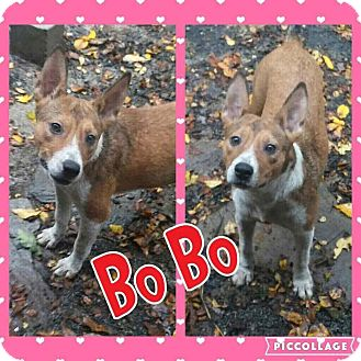 Cattle Dog/Hound (Unknown Type) Mix Puppy for adoption in Cranston, Rhode Island - Bo Bo